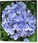 Nikko Blue Hydrangea Acrylic Print