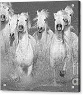 Nine White Horses Run Acrylic Print