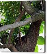 Nispero Tree Acrylic Print