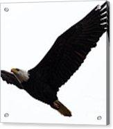 Nisqually Eagle 2 Acrylic Print