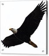 Nisqually Eagle Acrylic Print