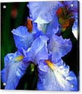 Nita's Iris Acrylic Print