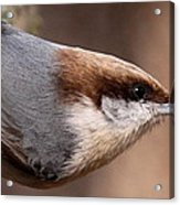 No Hands - Fayetteville - Nuthatch Acrylic Print