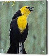 Yellow-headed Blackbird Singing Acrylic Print