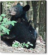 Bear - Cubs - Mother Nursing Acrylic Print