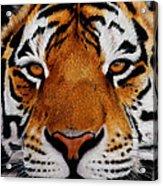 Nobility   Amur   Siberian  Tiger Acrylic Print