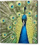 Noble Peacock Acrylic Print