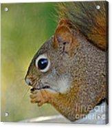 Nom Nom Squirrel  Acrylic Print