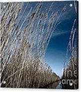 Norfolk Reeds Acrylic Print