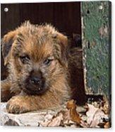Norfolk Terrier Puppy By Barn Door Acrylic Print