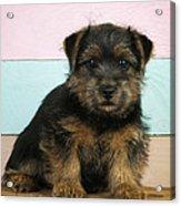Norfolk Terrier Puppy Dog, Sitting Acrylic Print