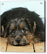 Norfolk Terrier Puppy Acrylic Print