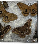 North American Large Moth Collection Acrylic Print