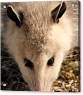 North American Opossum In Winter Acrylic Print
