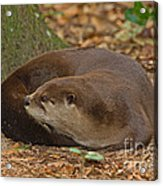 North American River Otter Acrylic Print