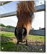 North Yorkshire, England  Horse Looking Acrylic Print