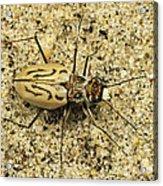 Northern Beach Tiger Beetle Marthas Acrylic Print