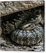 Northern Black-tailed Rattlesnake 2 Acrylic Print
