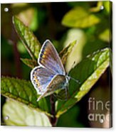 Northern Blue Acrylic Print