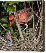 Northern Cardinal At Nest Acrylic Print