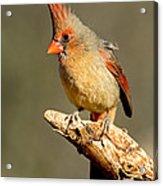 Northern Cardinal Cardinalis Cardinalis Acrylic Print