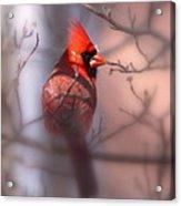 Northern Cardinal Dominent Male Acrylic Print