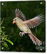 Northern Cardinal Hen Acrylic Print