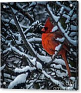 Northern Cardinal In Winter Acrylic Print