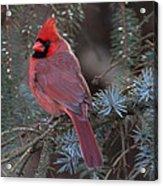 Northern Cardinal Acrylic Print by John Kunze