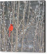 Northern Cardinal -male Acrylic Print