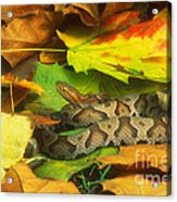 Northern Copperhead Camouflaged Acrylic Print