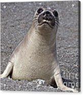 Northern Elephant Seal Weaner Acrylic Print