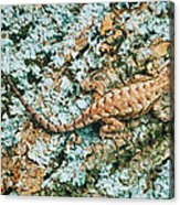 Northern Fence Lizard Acrylic Print