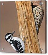 Northern Flicker And Hairy Woodpecker Acrylic Print by Jim Zipp