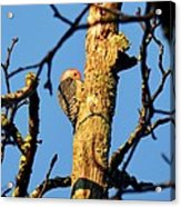 Northern Flicker At Sunrise Acrylic Print