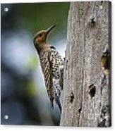 Northern Flicker Pictures 35 Acrylic Print