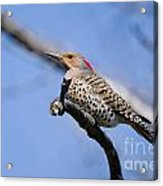 Northern Flicker Pictures 5 Acrylic Print