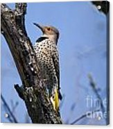 Northern Flicker Pictures 8 Acrylic Print
