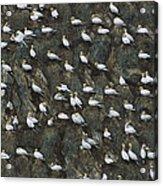Northern Gannet Colony Shetland Islands Acrylic Print
