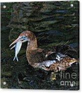 Northern Gannet Feeding Acrylic Print