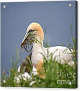 Northern Gannet Gathering Nesting Material Acrylic Print