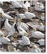 Northern Gannets Acrylic Print