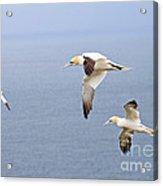 Northern Gannets In Flight Acrylic Print