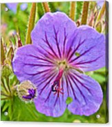 Northern Geranium By Transfiguration Of Our Lord Russian Orthodox Church In Ninilchik-ak Acrylic Print