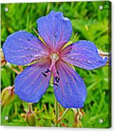 Northern Geranium In Jasper National Park-alberta  Acrylic Print