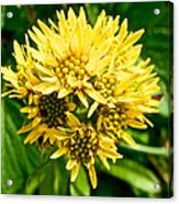 Northern Goldenrod On Alpine Tundra Trail By Eielson Visitor's Center In Denali Np-ak Acrylic Print