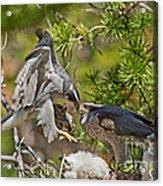Northern Goshawk Brings Prey To Nest Acrylic Print