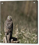 Northern Harrier At Rest Acrylic Print