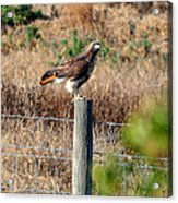 Northern Harrier Acrylic Print