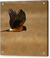 Northern Harrier Painterly Acrylic Print